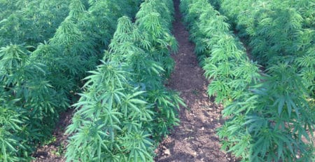 Hemp CBD Cultivation