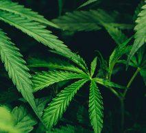 CBD and hemp laws and origins